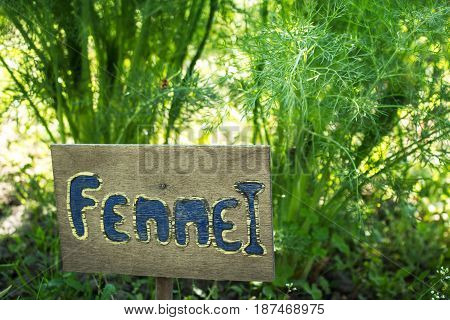 A plate of fennel next to growing fennel sp