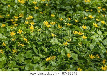 Blooming little yellow meadow flowers in park in Almaty Kazakhstan. Spring background.