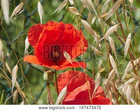 red poppy in the garden in summer