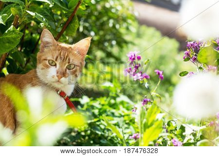 Cute White-red Cat In A Red Collar On The Garden