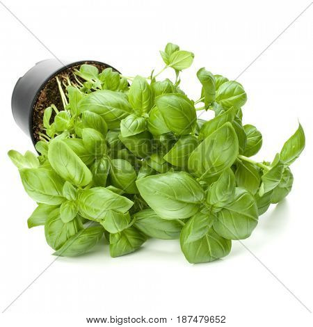 Sweet basil leaves in flowerpot isolated on white background cutout.