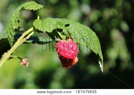 Fresh raspberries on a bush on a sunny day. Delicious and healthy food, diet