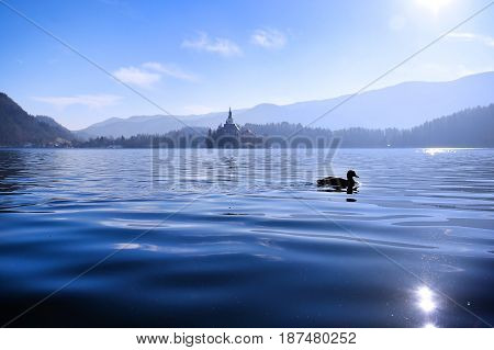 Duck swimming in Lake Bled with the Church of the Assumption island in the background like a fairytale.
