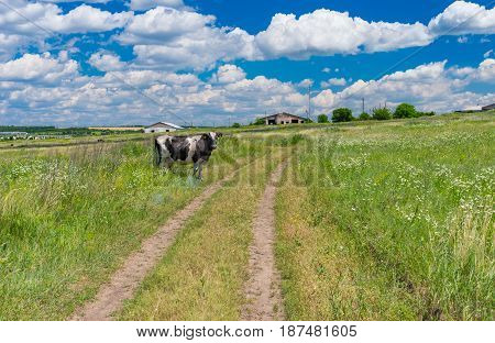 Classic rural landscape with country road meadow and cow at summer season in central Ukraine