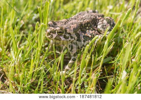 Green toad hiding in spring grass at sunny spring morning