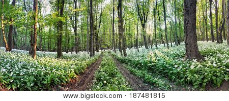 Nature forest panorama with white flowers - Wild Garlic