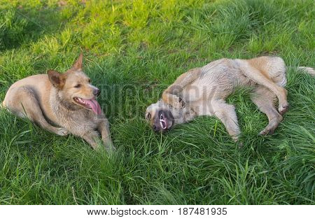 Pair of young cross-breed stray dogs being happy while resting on a spring grass in park