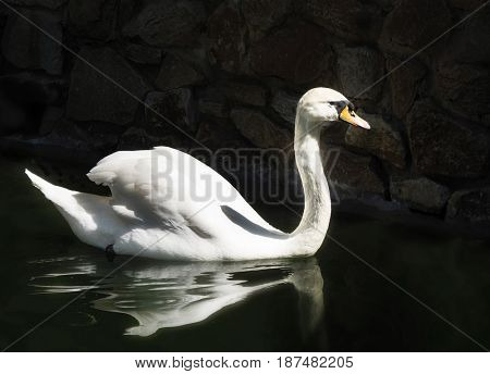 White swan on a black lake. sunny day. White swan in the lake with blue dark background