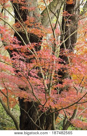 Red Autumnal leaves of maple trees Acer palmatum.