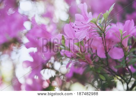 rhododendron pink flowers. Blooming bush. Spring nature