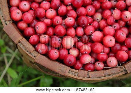 Fresh juicy cranberries in wicker basket on grass. Delicious and healthy food
