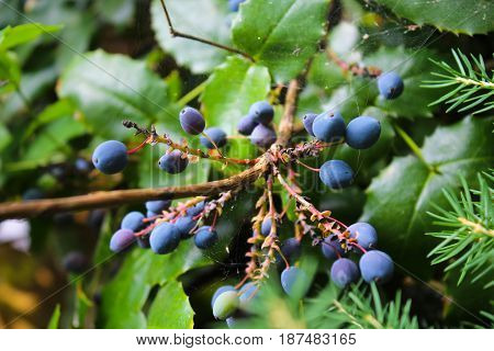 berries on a branch with spider webs