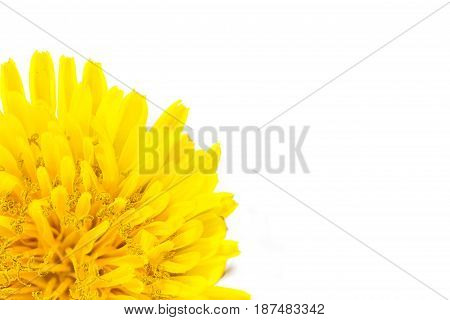 Yellow dandelion flower left corner isolated on white backgroud close-up