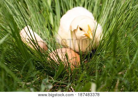 baby chicken with broken eggshell and egg in the green grass.