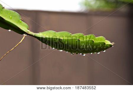 The stem of the Dragon fruit or pitaya. (Hylocercus undatus(Haw) Brit. & Rose.).