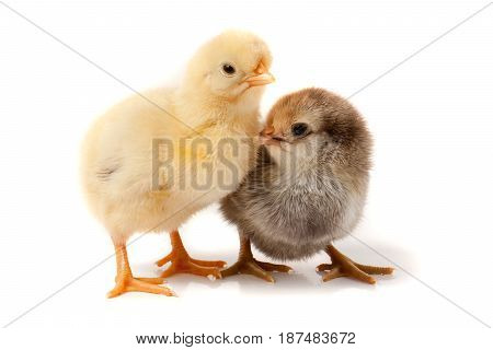 two little chicken isolated on white background.