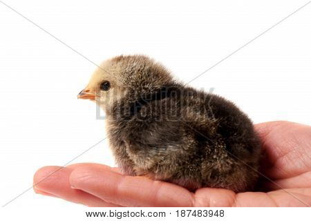 Hand holding a chicken, isolated on a white background.