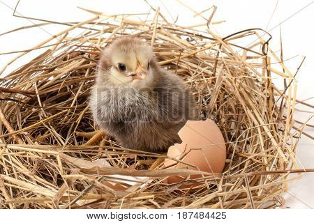 baby chicken with broken eggshell in the straw nest on white background.
