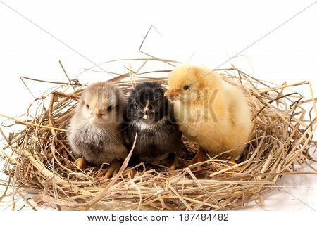 three baby chicken in the straw nest on white background.