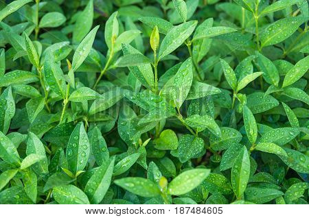 Green sprouts and tea leaves ripening on a bush, agrarian background