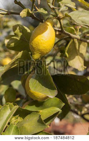 Yellow mediterranean lemon fruit hanging from its tree plant