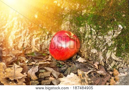 red apple lying on the ground in the dry autumn leaves near the tree covered with moss, agriculture background