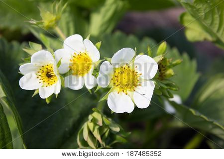 Developing Fruit: Three white Strawberry flowers and immature strawberry fruit growing on a strawberry plant in a natural setting