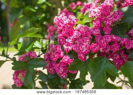 Pink hawthorn (crataegus) flowers. copy space. close up
