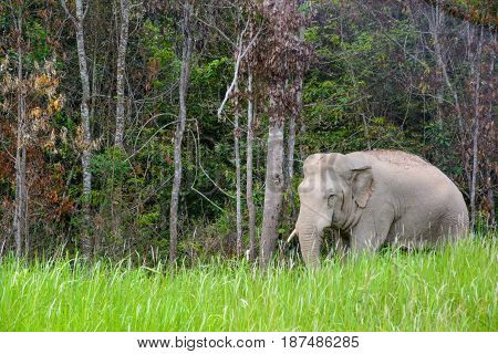Wild angle view of a lone male Indian Elephant standing in tall grass in front of a forest clearing. Khao Yai National Park Nakhon Ratchasima Thailand. Travel and wildlife concept.