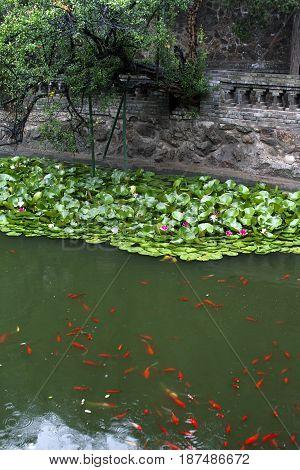 lake carps zen tranquil oriental waterlily blossom