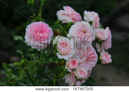 a wonderful gentle bouquet of roses on the background of the road