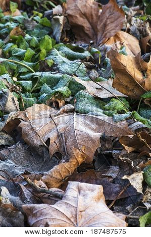 Many brown and green leaves are on the ground in frost in winter