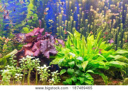 The aquarium with multi-colored algae and exotic fish
