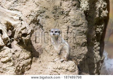 Meerkat in the zoo. Suricata suricatta. Family mangustov