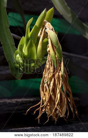 Dragon fruit or pitaya in the graden. (Hylocercus undatus(Haw) Brit. & Rose.)