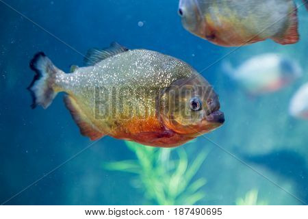 Piranha in the aquarium. Pygocentrus nattereri. Serrasalminae. Characidae. Serrasalmidae. Serrasalmus nattereri