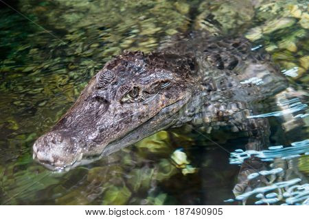 The alligator in the pond, Caiman crocodilus
