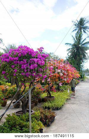 Multicolored beautiful flowering ornamental plants in pots. Thailand.