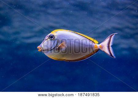 Fish-Rhino in the aquarium. Naso lituratus. Surgeon Fish