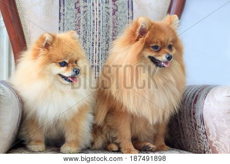 Two pomeranian puppys sitts in the chair. Pet animal.