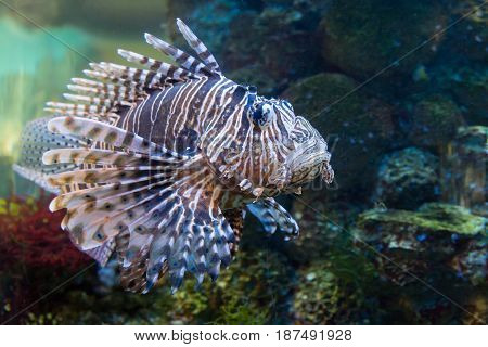 Zebra fish in the aquarium, Pterois volitans