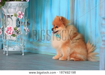 Pomeranian puppy sitts near the wooden wall. Pet animal.