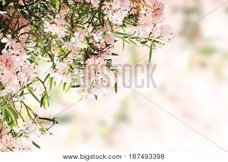 Spring flowers of pink color and green leaves on white background