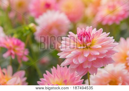 Colorful Of Dahlia Pink Flower In Beautiful Garden
