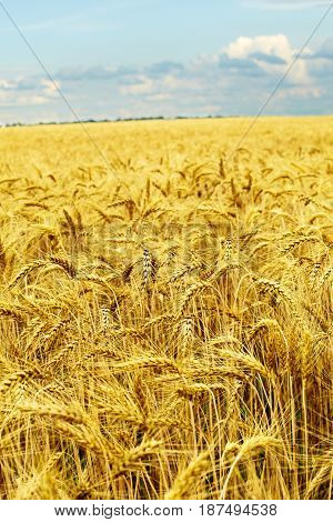 Golden wheat field and sunny day. Agriculture