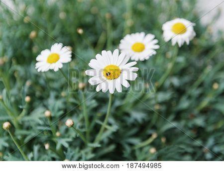 white daisies on a green background. Pyrethrum
