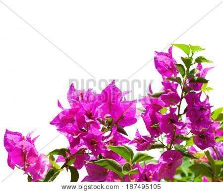 Blooming bougainvillea  isolated on white background