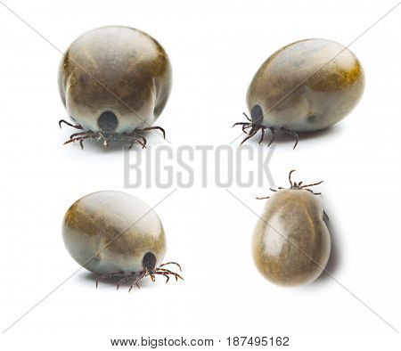Large female of the tick isolated on white background. Four different shots.