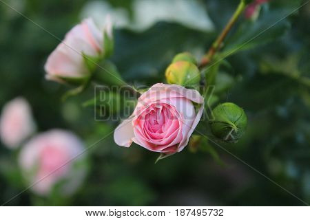 delicate pink unblown rose at sunset in the garden