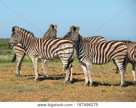 ZEBRA, FROM KOEBERG NATURE RESERVE, CAPE TOWN, SOUTH AFRICA 22vgh
